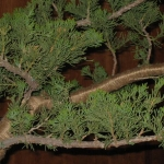 marcus_juniel_bonsai__3830-cvbs