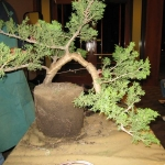 marcus_juniel_bonsai__3836-cvbs