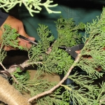 marcus_juniel_bonsai__3839-cvbs