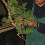 marcus_juniel_bonsai__3842-cvbs