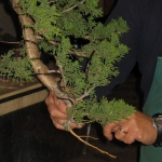 marcus_juniel_bonsai__3843-cvbs