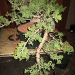 marcus_juniel_bonsai__3844-cvbs