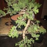 marcus_juniel_bonsai__3844-cvbs